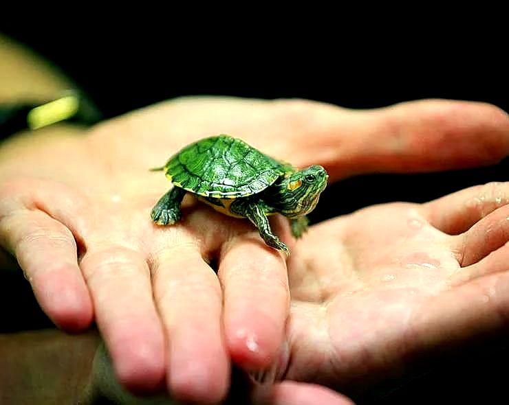 детеныш красноухой черепахи