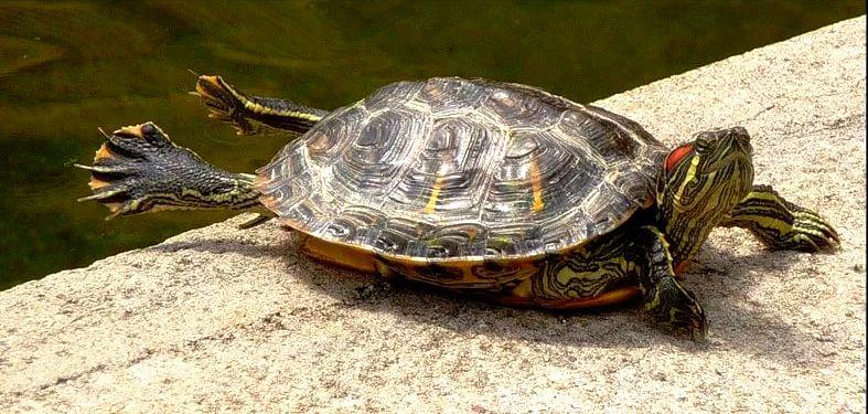 температура в аквариуме для красноухих черепах
