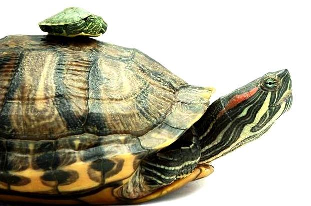 размеры красноухих черепах