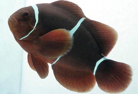 рыбы-клоуны в морском аквариуме
