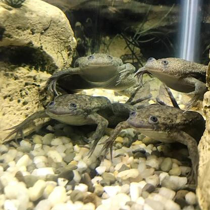шпорцевые лягушки в аквариуме