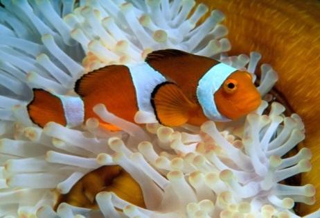 рыбы-клоуны совместимость