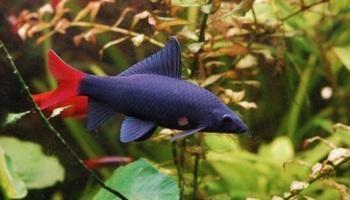 размножение рыб Лабео (Labeobicolor)