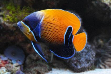 рыбы-ангелы совместимость