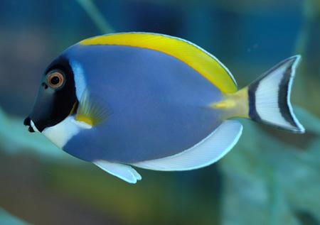 рыбы-хирурги в морском аквариуме
