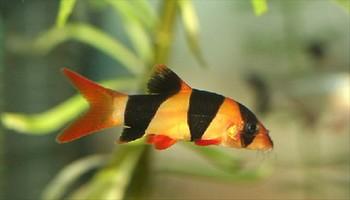 нерест рыб Боций (Botiamacrocanthus)