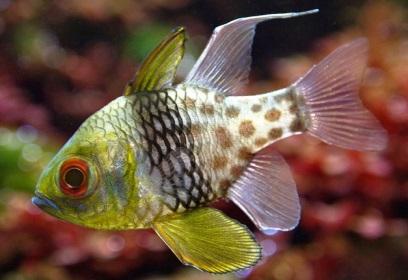 апогоны совместимость рыб