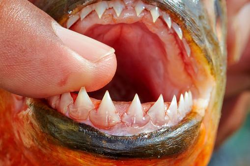 зубы пираньи