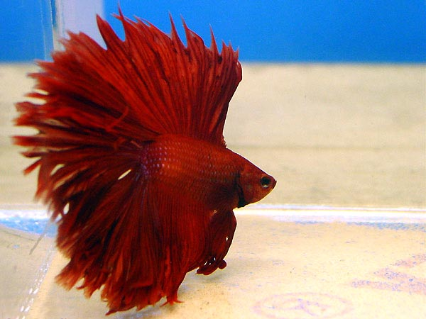 Лабиринтовые или анабасовые (Anabantidae) рыбы